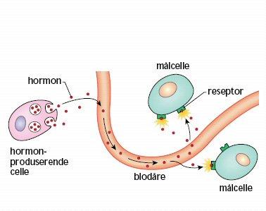testosteron hormone